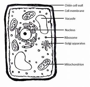 Diagram Of Cells And Tissues
