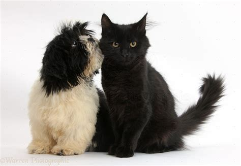 Pets Black And White Shih Tzu Pup And Black Kitten P O Wp