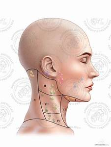 Female Right Lymph Nodes And Regions Of The Neck