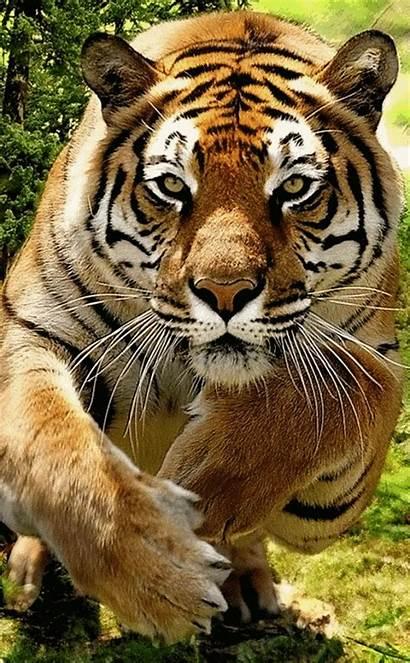 Animals Tiger Wild Pretty Cats Illusions Optical