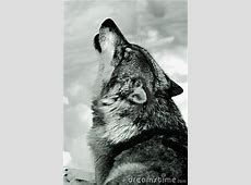Howling Wolf In Snow Stock Photo Image 13228460