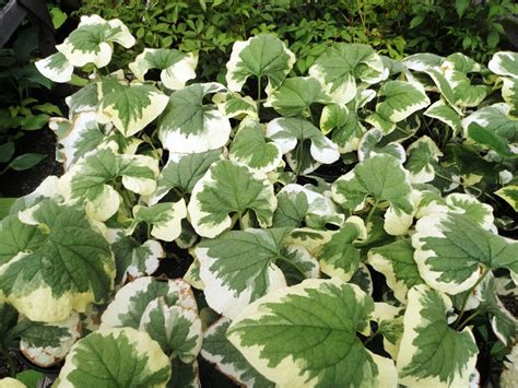 perennial plant care variegated brunnera at the nursery pinterest plant care perennials and plants