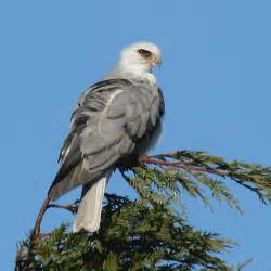 California Black Bird with White Tail