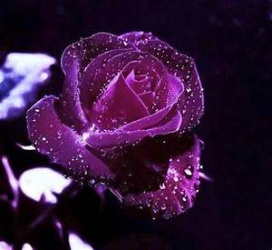 Purple rose with water drops | Pretty stuff :) | Pinterest ...
