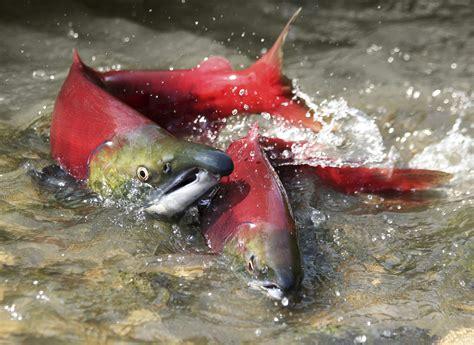 Salmon • Georgia Strait Alliancegeorgia Strait Alliance