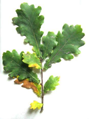 draw  oak branch