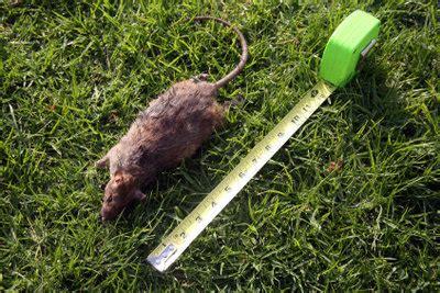 Rattenlöcher Im Garten  Was Tun?