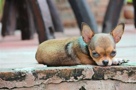 chihuahua pictures  colors types