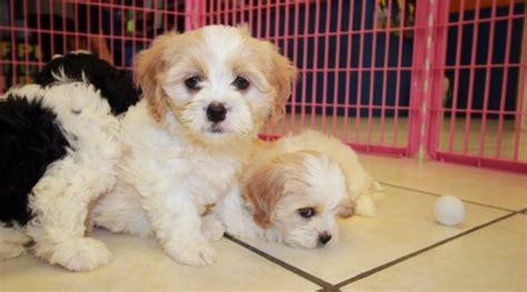 nice blenheim  white cavachon puppies  sale