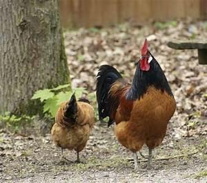 Poule Pondeuse Race : les races de poules pondeuses ~ Dallasstarsshop.com Idées de Décoration