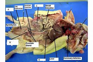 Regional Anatomy  Rat Dissection