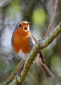 Robin Bird Singing