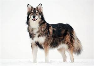 10 Dog Breeds That Look Like Wolves - Pet Care Facts