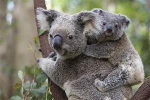 Koala Joey On Mothers Back Australia Photograph by Suzi