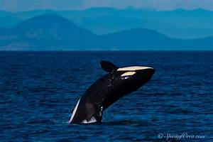Inslee Signs Executive Order To Protect Orcas  Chinook Salmon