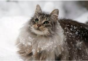forrest cat animal photo forest cat