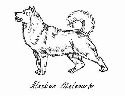 Malamute Alaskan Illustrations Vectors Doodle Drawn Sketch