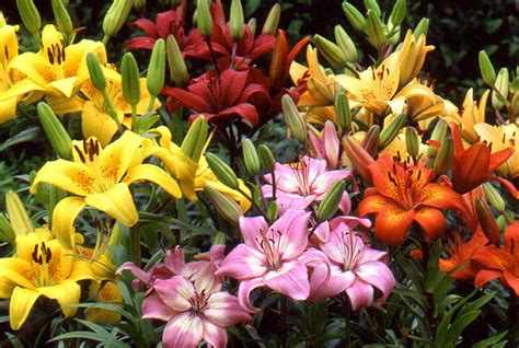 flower homes asiatic lily flowers
