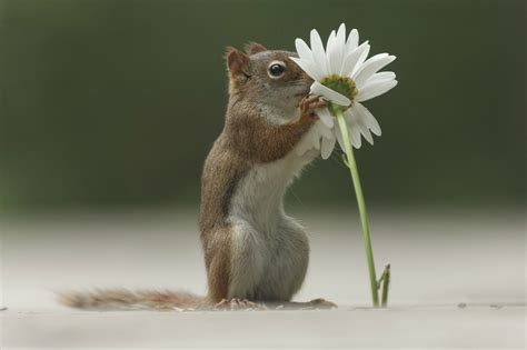 squirrel smelling white flower hd wallpaper wallpaper flare
