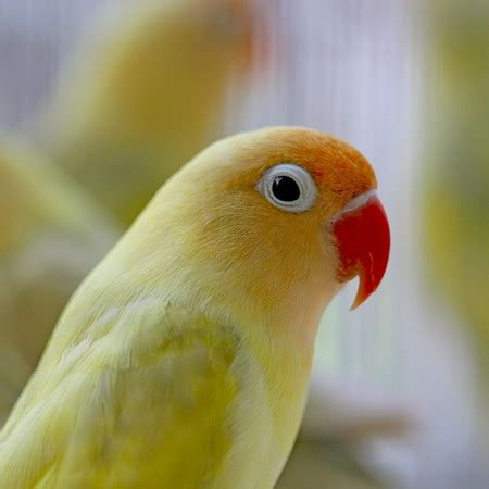 Male and Female Love Birds as Pets