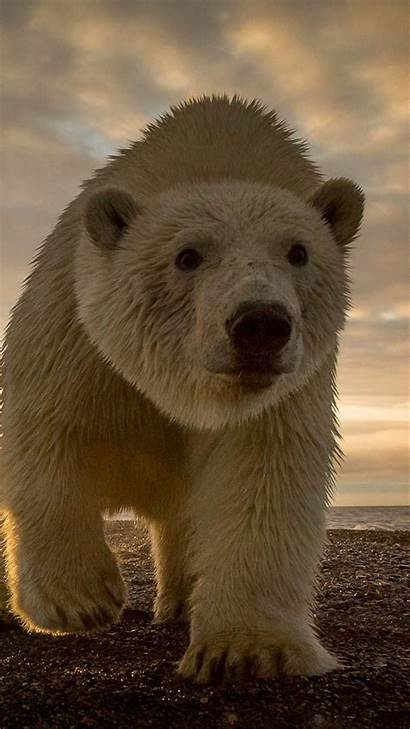 Bear Polar Iphone Bears Wallpapers Animal Android