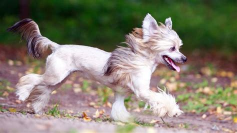 chinese crested information characteristics facts names