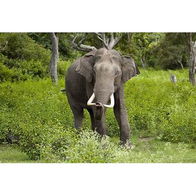 Asian elephant - Wikipedia