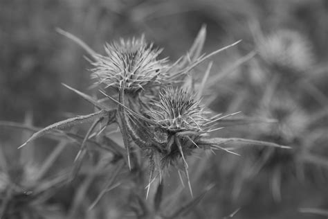 Thistle Free Stock Photo Public Domain Pictures