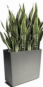 Plante Verte D Appartement : sansevieria trifasciata langue de belle m re culture et ~ Premium-room.com Idées de Décoration