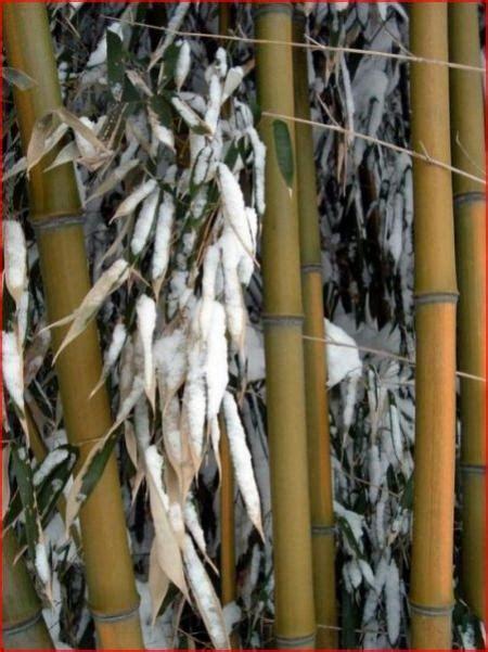 bambus im winter pflanztips bambuspflege bambus wissen