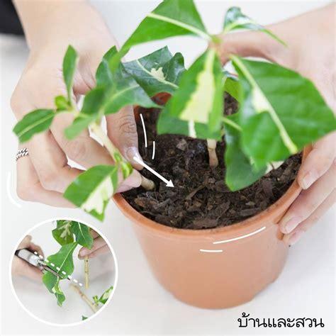 ปักชำ ต้นไม้ 8 ชนิดที่ทำง่าย ได้ต้นไม้เพิ่มแบบไม่ต้องเสีย ...