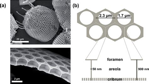 directed assembly  nanoparticles  isolated diatom