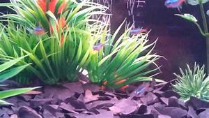 neon tetra and pink zebra danios - YouTube