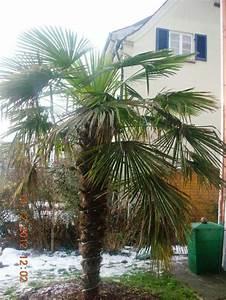 überwintern Von Palmen : trachycarpus fortunei bedingt winterhart in deutschland ~ Michelbontemps.com Haus und Dekorationen