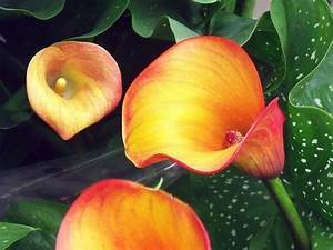 Calla Pflanze Giftig : drachenwurz zwiebeln ~ Frokenaadalensverden.com Haus und Dekorationen