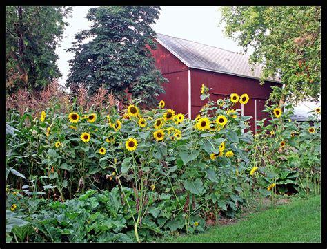 sun flower garden sunflower garden this beautiful sunflower garden is on a s flickr
