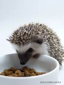 best cat food for hedgehogs prickle pets hungry hungry hedgehog cat food mix