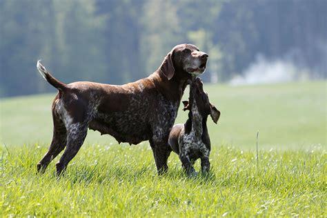 Jagdhunde Welpen Erziehung