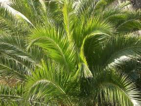 Images of Oil Palm Or Palm Oil