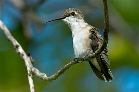 ruby throated hummingbird facts anatomy diet habitat