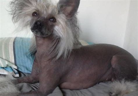 facts      chinese crested dogs