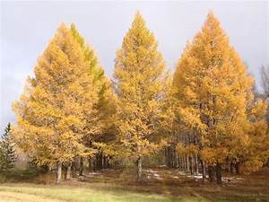 Agroforestry Design 39 Lindquist 39 Siberian Larch Agroforestry Solutions