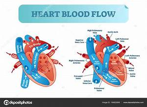 Anatomy Heart Blood Flow