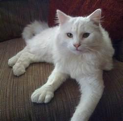 polydactyl cats healthiana polydactyl cats