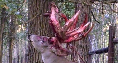 Deer Shedding Velvet Bleeding by A Buck Shedding Velvet Will Make You Eager To Hit