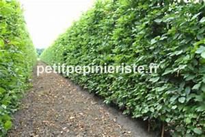 Arbuste Brise Vue : charmille prix vente et achat ~ Preciouscoupons.com Idées de Décoration