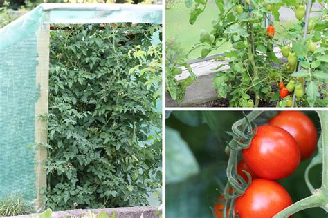 beste zeit zum tomaten pflanzen tomaten setzen wann der beste zeitpunkt zum pflanzen ist tomaten de