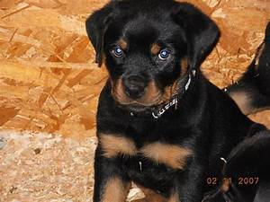 Information About German Rottweiler Puppies Yousenseinfo