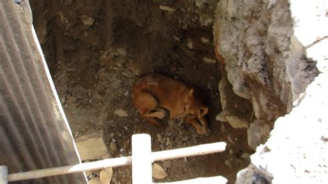 street dog rescued  pit  construction site video