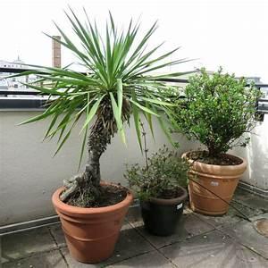 Plante D Extérieur En Pot : 3 plantes dexterieur en pot rond dont 1 de 40 cm de diametre par 36 cm de haut hauteur de la plante ~ Teatrodelosmanantiales.com Idées de Décoration